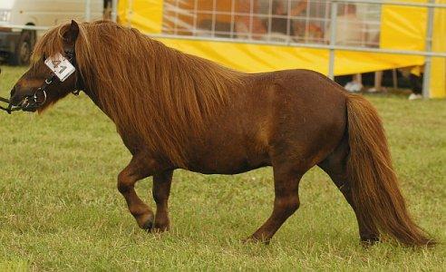 Polish Pony