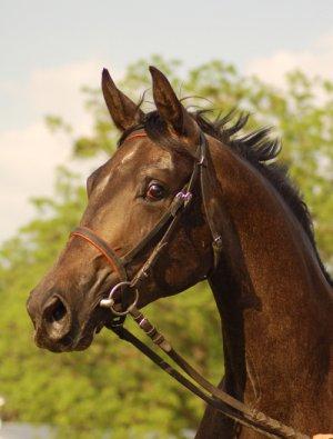 Malopolska Horse