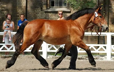 Polish Coldblood Horse