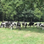 Cows and Beehives at Viltain