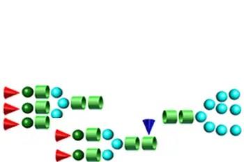 N-Linked Glycans