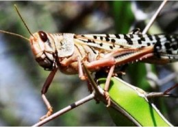 How do you stop a swarm of locusts?