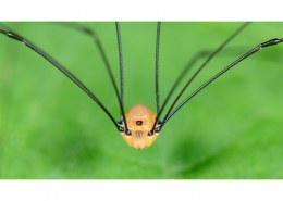 How poisonous are Daddy long legs?