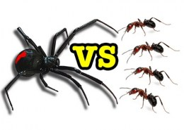 Are spider ants poisonous?