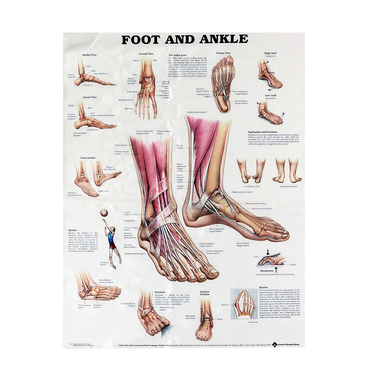 Anatomy Of Foot And Ankle Poster Anatomical Chart Human