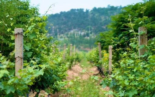 Huadong Winery Qingdao Vines