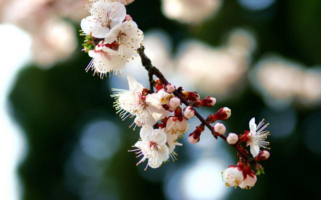 Zhongshan Park Cherry Blossoms Sakura Qingdao