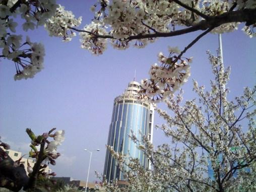 Qingdao Spring Blossoms 3
