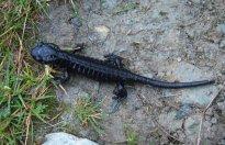 salamandre_noire