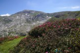 Rhododendrons devant le Monte Mongioie – Jour 2 – Tour du Marguareis – Juin 2016 – Trek, Rando, Italie