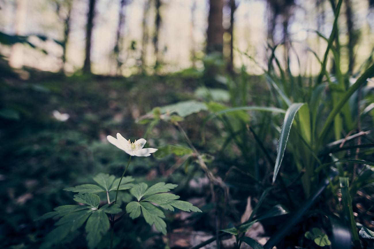 Photographie nature d'une fleur blanche dans un sous bois