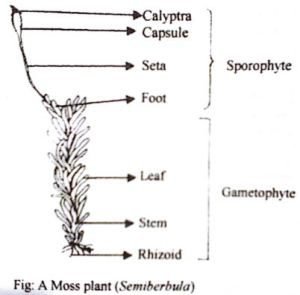 Describe labelled diagram of Sporophyte of Semibarbula or