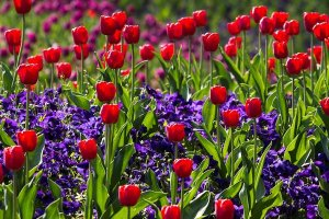 red tulips and purple flowers