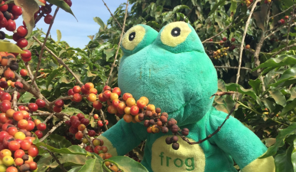 Frog Q Inspecting Coffee
