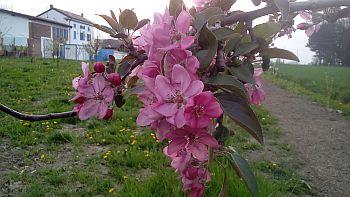 03elilu_fiore melo rosso