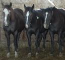 horseslaughter3