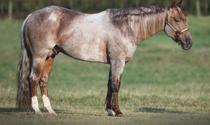 Metallic cat horse grazing in a field