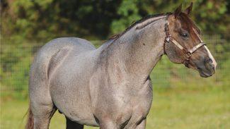 Stallion One Time Pepto conformation shot