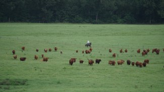 man on horse herding cattle at Home Place Land & Cattle Company