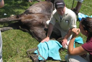 veterinarians castrating a cryptorchid horse