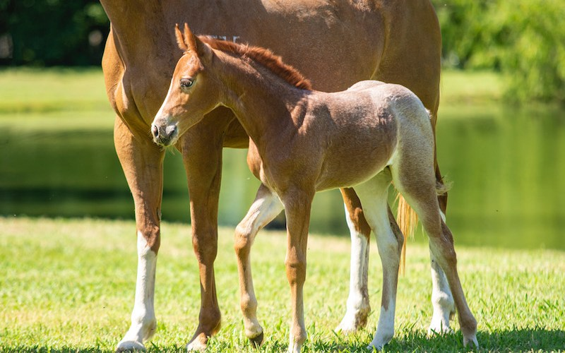 foal standing by mare