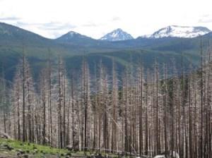 reforestation-quastuco-silviculture-penticton-okanagan