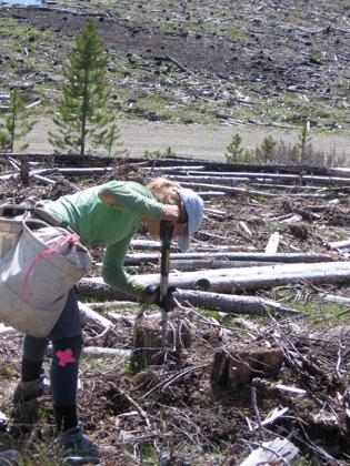 Job postings for tree planter, Quastuco Silviculture.