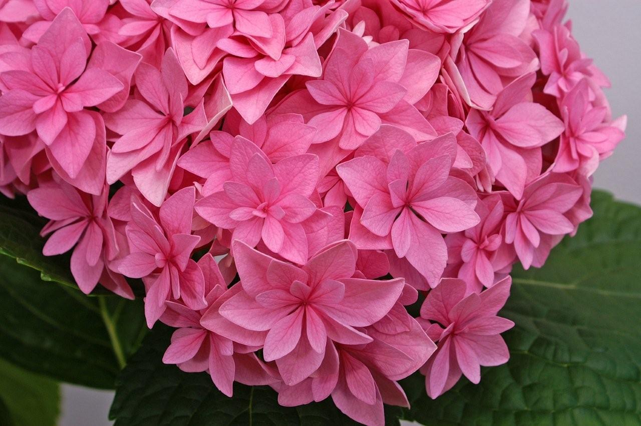 Hydrangéa Perfection, un hortensia qui a la \