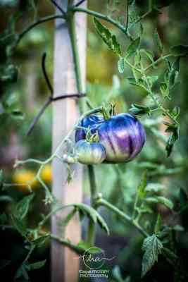Tomate Ananas Bleue - Quatre saisons au jardin