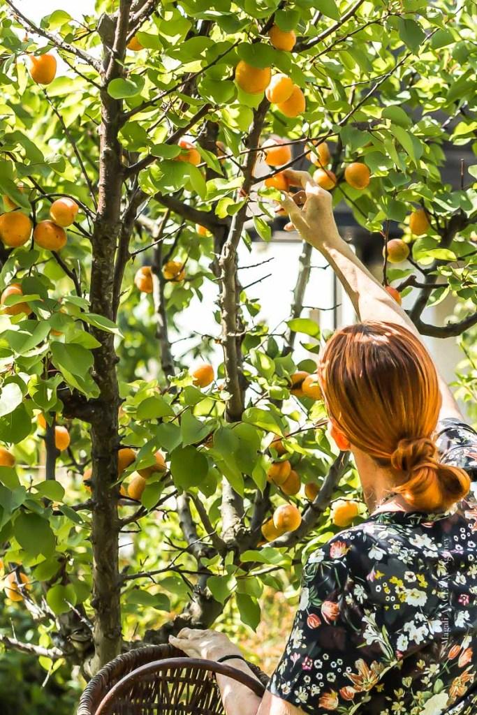 Récolte des abricots du jardin - Magali ANCENAY