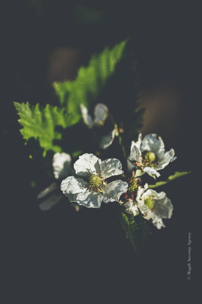 Floraisons des mûres sans épines