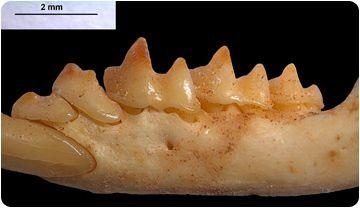 Las musarañas ratifican que Mallorca y Menorca estuvieron unidas hace 2 millones de años