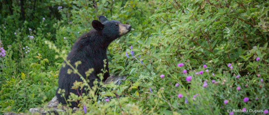 a la rencontre de l ours noir dans l