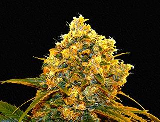 graine de cannabis - rocket