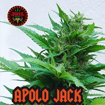 graine de cannabis apolo jack