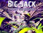 graine de cannabis - big jack