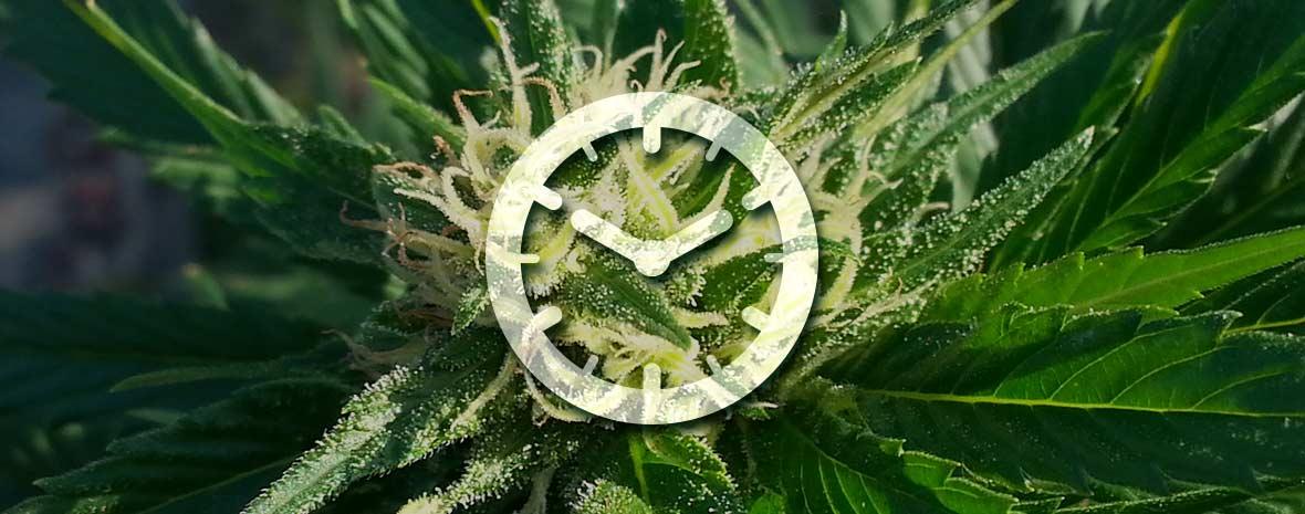Culture de graines de cannabis féminisées automatiques