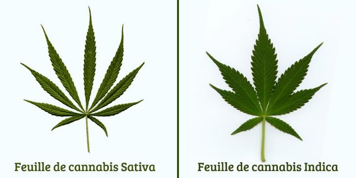 Feuilles de cannabis sativa et indica