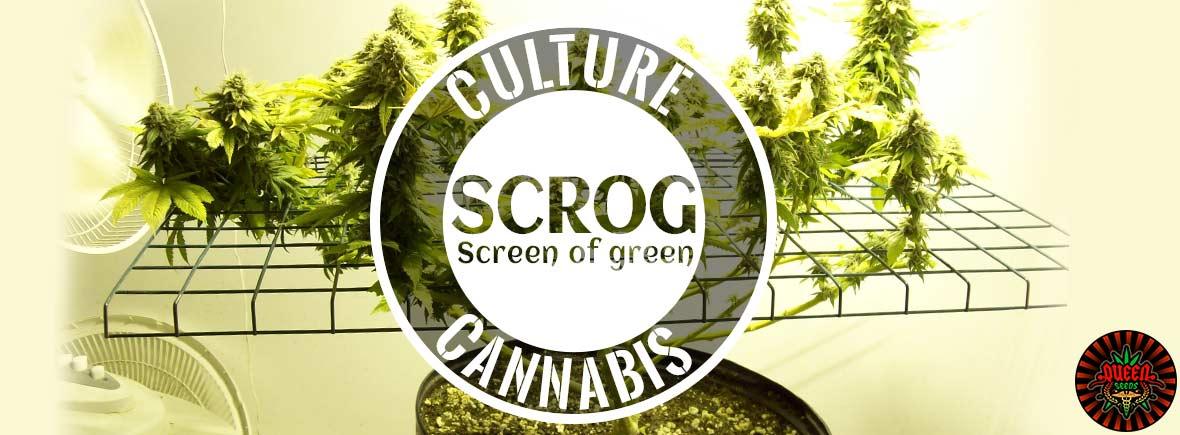 SCROG Screen of green
