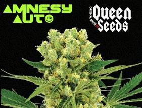 Amnesy Auto Queen Seeds