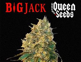 Big Jack Queen Seeds