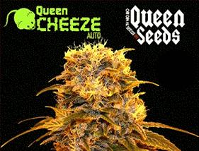 Queen Cheeze Auto Queen Seeds