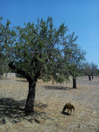 Amandiers et mouton