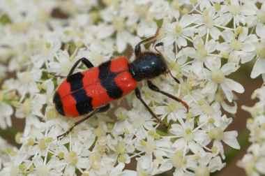 Trichodes apiarius