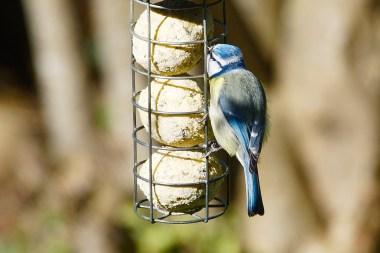 Dos de mésange bleue