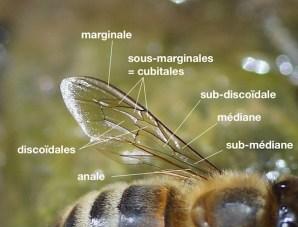 cellules d'une aile d'abeille