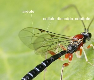 cellules de l'aile d'ichneumonidae