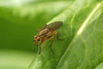 Scathophaga stracoraria