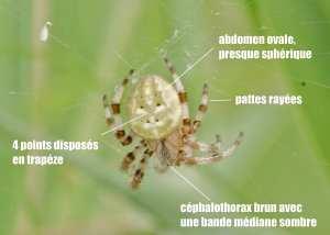 araneus quadratus06