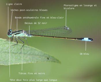 mâle Ischnura elegans